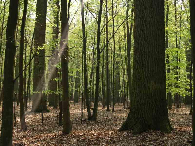 Tartak Strzelno - las dębowy